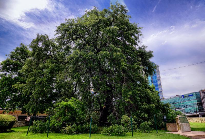 Austin Treaty Oak