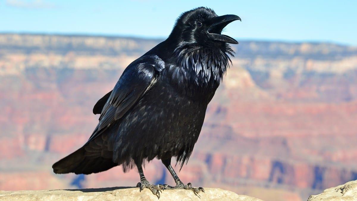 Raven NPS Cropped 1